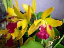 Катлея / Мои любимые цветы