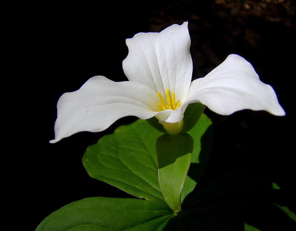 Цветок онтарио
