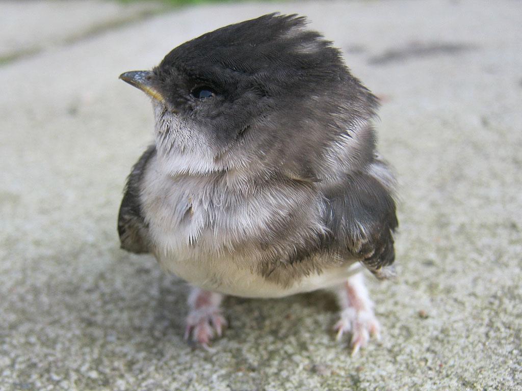 ласточки птенцы фото
