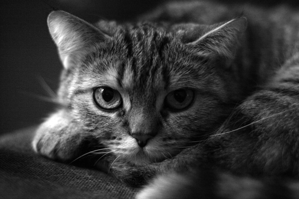 Рекомендации.  1. кошачье чб.  Природа и животные.  Beatleoff.